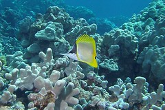 knows (BarryFackler) Tags: ocean life sea fish nature water ecology animal coral fauna island hawaii polynesia bay marine underwater pacific being dive scuba diving sealife pacificocean tropical marinebiology diver z bigisland aquatic reef creature biology undersea kona ecosystem coralreef marinelife vertebrate zoology seacreature marineecology organism honaunau konacoast forcepsfish hawaiicounty southkona hawaiiisland 2013 honaunaubay marineecosystem westhawaii longnosebutterflyfish forcipigerlongirostris konadiving bigislanddiving hawaiidiving sealifecamera lauwiliwilinukunukuoioi commonlongnosebutterflyfish barryfackler barronfackler flongirostris