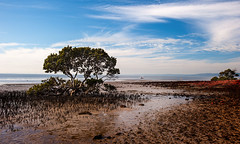 Mangrove Tenby Point (laurie.g.w) Tags: mangrove shoreline westernport western port bay gippsland coastal mud flats tidal zone low tide