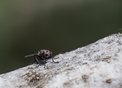 A Fly on a Branch (matteolel) Tags: macro animal insect fly branch tronco ramo animale mosca insetto