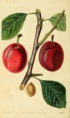 n235_w1150 (BioDivLibrary) Tags: fruitculture greatbritain periodicals umassamherstlibrariesarchiveorg bhl:page=21999687 dc:identifier=httpbiodiversitylibraryorgpage21999687 artist:name=augustainneswithers artist:viaf=95819243 isabellaplum taxonomy:genus=prunus womeninscience augustainneswithers q2870951 illustrator:wikidata=q2870951 hernaturalhistory