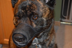 Shadow (heyitsfrenchfry) Tags: dog woof german shepard muzzle