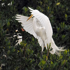 The Maestro (Susan Hall Frazier) Tags: white nature birds wildlife feathers mangroves greategret audubonsociety rookery nestingbirds themaestro lifeonanisland blinkagain bestofblinkwinners coffeepotbayourookery