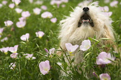 Fluffy small dog in flower field. (tommynguyen1957) Tags: flowers portrait dog pet flower color field animal horizontal outdoors mutt longhair canine nobody photograph smalldog shaggy panting mixedbreed speaking windblown barking pant fluffydog animalsandwildlife