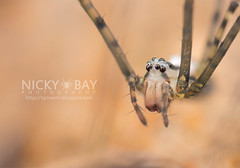 Psechrid Spider (Psechrus sp.) - DSC_3981 (nickybay) Tags: macro spider singapore upperpeircereservoir psechridae psechrus psechrid