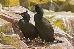 Shags II (Louise Morris (looloobey)) Tags: cliff boat rocks shags nests farnes img7656 nirthumberland may2013