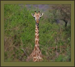 Life in the trees. (Rainbirder) Tags: giraffe keny giraffacamelopardalistippelskirchi masaigiraffe tsavowest rainbirder