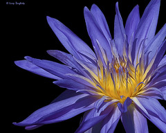 I am....Water Lily!  :-).........D200 (Larry Daugherty) Tags: plant flower nature nikon bravo waterlily lily blossom neworleans ngc petal bloom d200 botanicalgarden onblack nikon300mmf4lens mygearandme mygearandmepremium mygearandmebronze photoshopcs6 neworlensbotanicalgarden
