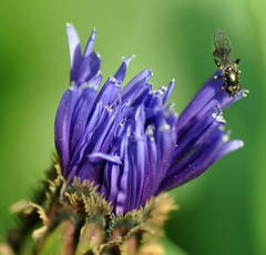 in the garden... (littlestschnauzer) Tags: uk flowers west flower macro garden insect fly flying petals nikon yorkshire may cornflower emley 2013 my d5000 elementsorganizer11