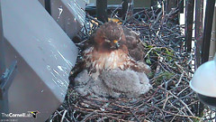 BR asleep with young (Cornell Lab of Ornithology) Tags: red bird big university cams cornell redtailedhawk nestlings labofornithology cornelllabofornithology