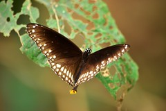 Crow Butterfly (vijaykhaitan) Tags: orange robin birds butterfly dragonfly owl damselfly thrush fantail barbet barbler