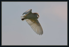 Barn Owl (Full Moon Images) Tags: bird nature barn flying wildlife flight lakes reserve owl prey fen cambridgeshire birdofprey drayton rspb fendrayton