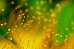 Surrounded by many fans (Masa_N) Tags: flower macro yellow japan tokyo bokeh pistil stamen earlysummer hypericummonogynum