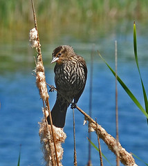 Female red-winged blackbird (psiegle) Tags: femaleredwingedblackbird halfdayprairie