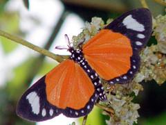 Weymeria sp (David Bygott) Tags: africa orange tanzania moth lepidoptera noctuidae gombe eol dayflying aposematic taxonomy:genus=weymeria