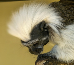 A cotton-top tamarin shows its beautiful white crest at Mawell Wildlife in Hampshire (Anguskirk) Tags: uk england animals zoo monkey hampshire smartphone primate newworld zoologicalgardens saguinusoedipus nokian8 marwellwildlife