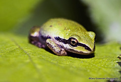 Northern Pacific Tree Frog (Gary Grossman) Tags: sunshine oregon spring blackberry wildlife amphibian frog hopper treefrog leafhopper sauvieisland sauvie northernpacifictreefrog