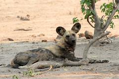 Wild dog (Tobi Roaming Africa) Tags: wild dog riverfront botswana chobe botsuana mygearandme mygearandmepremium