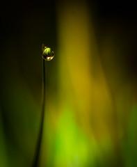 Size doesn't matter! (High rez) Tags: macro nature drops drop dew magicalmoments macrodrops joakimabrahami