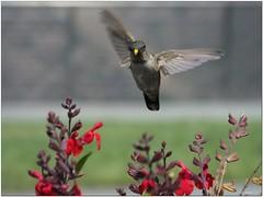 Juvenile Anna's Hummingbird (Joms_Nature) Tags: bird nature flying hummingbird wildlife bif birdinflight hs50 fujihs50 hs50exr