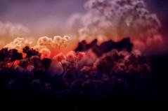 heartbreaker (Kelsey Elinor) Tags: flowers sunset 33 overlay 365