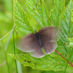 Rohusilmik.  Aphantopus hyperantus. (Jaan Keinaste) Tags: fauna butterfly estonia pentax eesti k7 liblikas aphantopushyperantus pentaxk7 rohusilmik