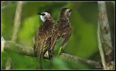 Love Birds (VERODAR) Tags: nature birds nikon jungle sarawak borneo lovebirds kuching wildbirds merbok wildpigeons nikond5000 samarindah verodar veronicasridar