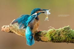 Catch of the day (Luuk Belgers) Tags: blue food fish bird nature photography inflight wings branch action wildlife kingfisher catch d800
