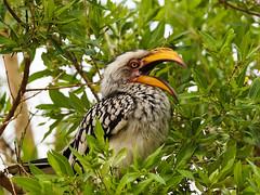 Southern Yellow-billed Hornbill (Tockus leucomelas) (David Cook Wildlife Photography) Tags: southafrica northwest pilanesbergnationalpark southernyellowbilledhornbill tockusleucomelas kookr sonysal70400g davidcookwildlifephotography sonyslta77v 2013davidcookwildlifephotographyallrightsreserved
