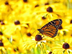 First Monarch of the Season (BlueRidgeKitties) Tags: orange black yellow butterfly monarch rudbeckia asteraceae blackeyedsusan danaus danausplexippus canonpowershotsx40hs