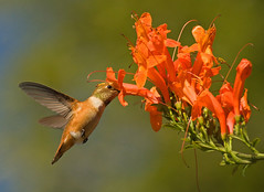 RUFOUS HUMMINGBIRD (sea25bill) Tags: california morning blue summer sky brown bird hummingbird rufous capehoneysuckle