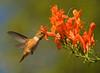 RUFOUS HUMMINGBIRD (sea25bill) Tags: california morning blue summer sky brown bird hummingbird rufous capehoneysuckle