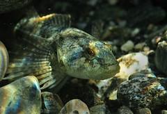 Waiting Game (Fish as art) Tags: fish underwater coastal micro streams bellacoola biodiversity sculpin nikon105mmf28vrg