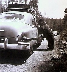 Yellowstone Park Bears (ukoboe) Tags: bears yellowstone wyoming nationalparks 1951 vintagephotos browniehawkeyecamera