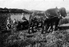 Hay making before the war (hairnicks) Tags: horses west bill sheep farming north harvest devon hay dairy making buckland crocker cecil exmoor reaping sheaves bushton