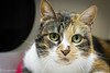 A1547089(pumpkin) (Crooked-Kitty) Tags: rescue cat rat tabby calico hamster adopt carlsbadcalifornia domesticshorthair sandiegoanimalshelter