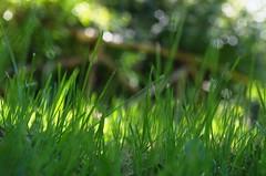 grass of the garden - HFF (ΞSSΞ®®Ξ) Tags: light italy grass fence garden focus pentax bokeh september greens depth k5 ξssξ®®ξ