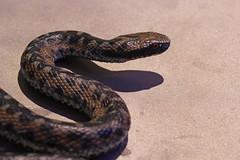 Snake (Alessandro Casagrande Photographer) Tags: colors snake muse terra sassi bosco muso serpente vipera pericoloso lungo colorato animaletto squame velenoso viscido