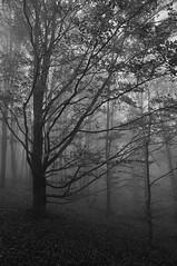 The Fog (Stefano Nocentini) Tags: autumn italy mountain fog landscape italia e funghi toscana nebbia autunno paesaggi montagna bianco nero beech stefano appennino the beeches faggi lautunno autunnali nocentini