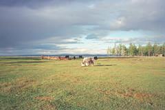 Mongolie, troupeau de yaks, au nord, rgion du lac Khvsgl / Mongolia (Jeanne Menj) Tags: lac yaks nord mongolie khvsgl troupeau jeannemenjoulet