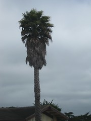 "Palm Tree in Monterey • <a style=""font-size:0.8em;"" href=""http://www.flickr.com/photos/109120354@N07/11042962766/"" target=""_blank"">View on Flickr</a>"