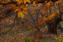Viento de otoo / Fall wind (Jos Rambaud) Tags: autumn color tree fall forest arbol colores andalucia bosque otoo serraniaderonda