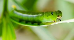 Hey big guy! (Shuuro) Tags: macro green nature bug ant