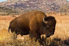 Plains Bison (Lindell Dillon) Tags: oklahoma buffalo wildlife wichitamountains bison americanbison flickraward plainsbison oklahomanaturepics lindelldillon