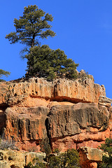 Pine (arbyreed) Tags: tree sandstone redrock pint ironcountyutah secondlefthandcanyon arbtyreed redrrock
