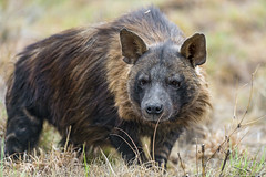 Attentive brown hyena