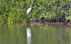 Snowy Egret, with Little Blue Hiding from the Camera (Cheshire_Cat) Tags: bird heron florida egret snowyegret wildliferefuge littleblueheron dingdarling jndingdarlingnationalwildliferefuge dingdarlingnationalwildliferefuge dingdarlingwildliferefuge dingdarlingnwr {vision}:{text}=0587 {vision}:{plant}=0915 {vision}:{outdoor}=0899