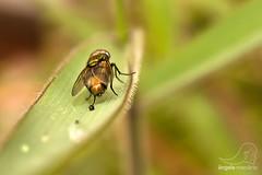 Mosca doméstica (angela.macario) Tags: brasil natureza capim gotas mosquito inseto folha mosca goiânia goiás gordura orvalho ângela macário