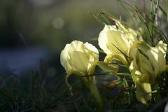 """Iris lutescens"", appel l'iris des garrigues (Michel Seguret (Thanks for + 5.600.000 views)) Tags: iris france flower macro primavera fleur spring flora nikon blume fiore botanique printemps languedoc d800 garrigue hrault gardiole frling lutescens afs105 irisnain vision:outdoor=0557 vision:plant=081"