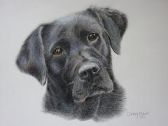Missy (*ChrissyM*) Tags: art pencil labrador coloured petportrait