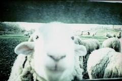 Sheep Close-Up (Cris Ward) Tags: park city travel colour green london film animals analog 35mm lomo xpro lomography crossprocessed aqua sheep kodak farm crossprocess country slide xa2 chrome crossprocessing lamb pointandshoot analogue pocket elitechrome olympusxa2 expired e6 outing mudchute colourshift colorreversal lomographyuk